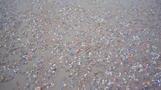 Coquina Clams Emerge From Sand to Feed on Water - 927074-1