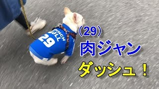 FRENCH BULL 29(肉)を着て散歩する五郎。 Nana&Goro+Shion 肉ジャンダ...
