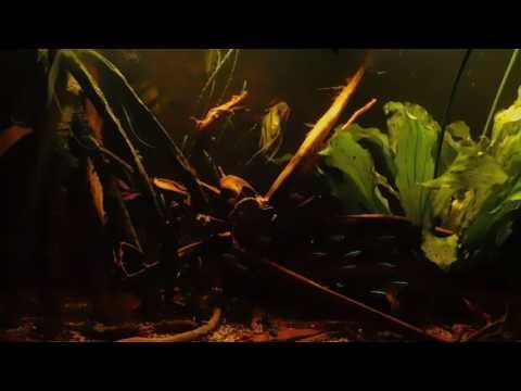 Amazone / Rio Negro / Zuid-Amerika / aquarium 300 l / Altum Peru (9)