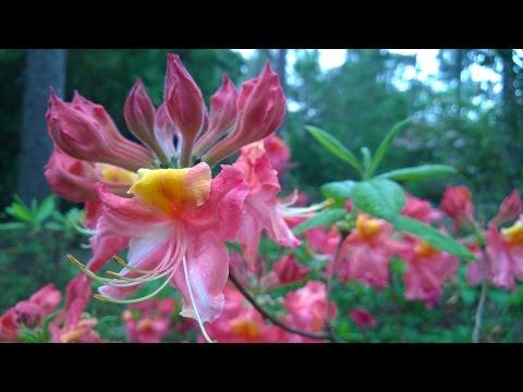 Pretty, Pretty Pictures: An introduction to the Aromi Azaleas by Maarten van der Giessen