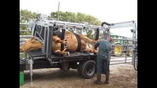 Cattle Foot Trimming (Limousin Cow)