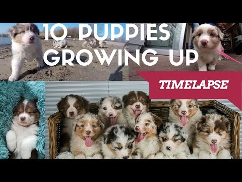 10 Puppies Growing up! | Australian Shepherds Timelapse