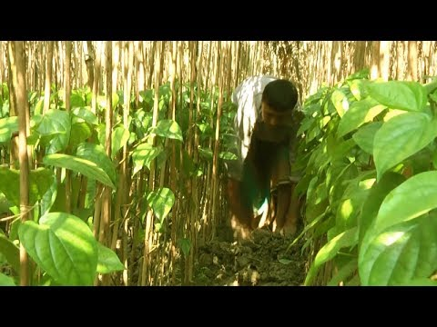 Starting a Business - Betel Leaf and Piper Betle Farming in