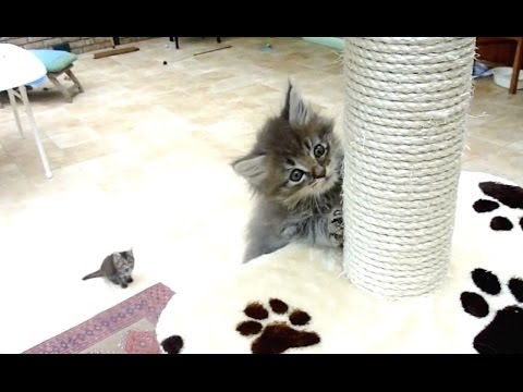 Maine Coon Kitten Climbing a Cat Tree