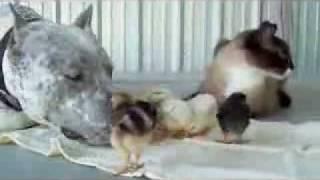 AMAZING! PitBull Cat & Chicks
