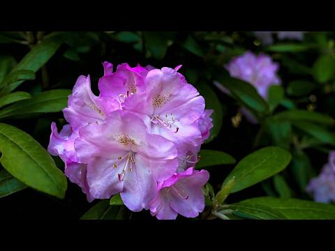 Portland Japanese Garden Flowers