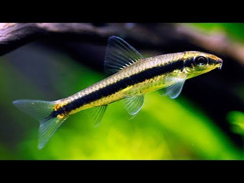 Siamese Algae Eater | Beginner Guide