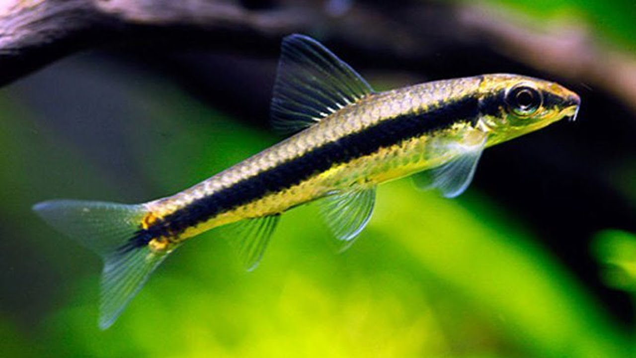 Otocinclus Algae Eater | Siamese Algae Eater Beginner Guide Youtube