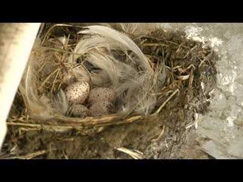 Scottish farm barn swallows lay new batch of eggs - YouTube