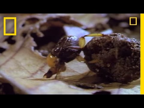 Dung Beetles   National Geographic