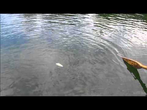 Little Bear Lake early morning perch