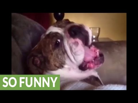 English Bulldog temper tantrum compilation