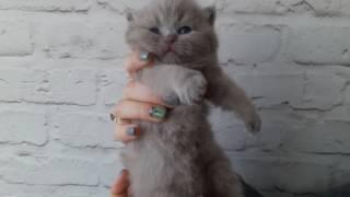 Котенок скоттиш страйт девочка возраст 2 недели