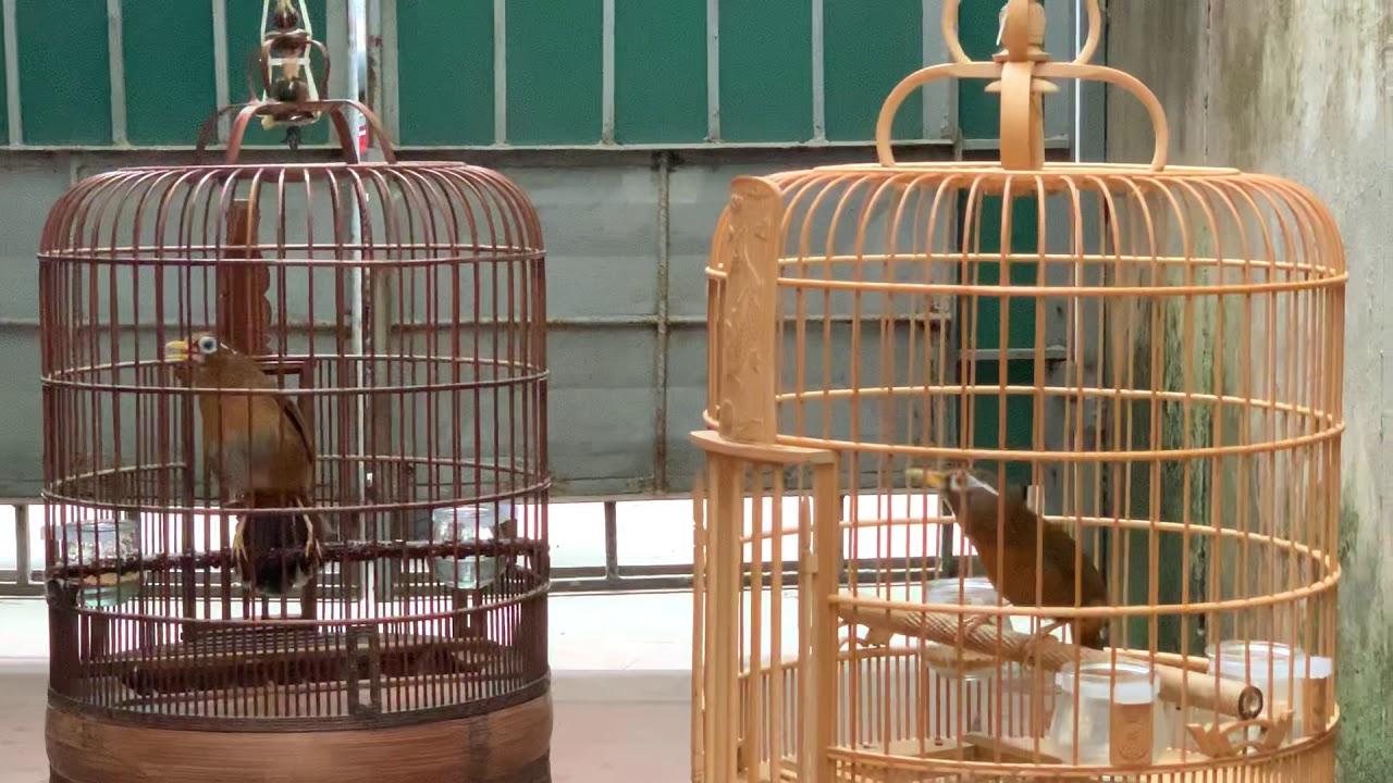 Hoạ Mi Đất Việt – chuyên bán Chim Hoạ Mi và Cám Hoạ Mi . LH 0908070555/ 0944114410 Hà Nội. Toàn Quốc