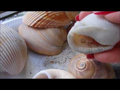Shelling In Pine Knoll Shores, NC