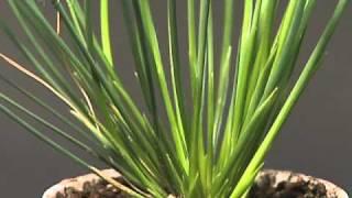 モデル生物の世界「イグサ属植物」