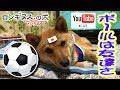 ロシアワールドカップ ベルギー対イングランドを観戦【ロンギヌスという名の犬】(豆柴)と一緒にネ^_^