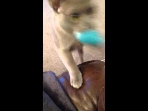 Burmese cat pretending to be a dog