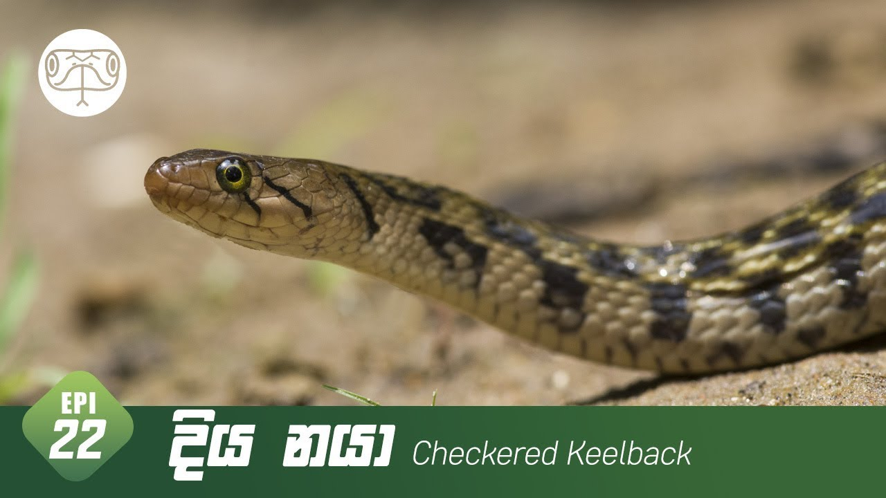 Download Diya naya   දිය නයා   Checkered Keelback - Episode 22