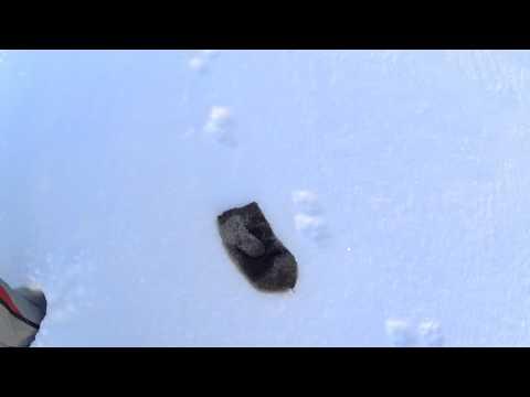 Следы лисицы на снегу / Trace fox in the forest / Winter / Ural