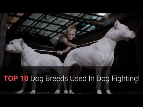 🐕-dog-fights-–-top-10-dog-breeds-that-were-used-in-dog-fights!
