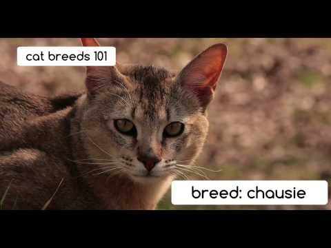 Chausie Cats   Cat Breeds 101