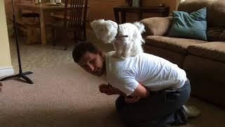 Maltese puppy tricks, so smart!
