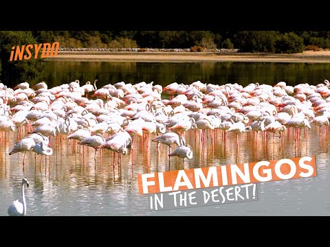 See Flamingos in Dubai at Ras Al Khor Wildlife Sanctuary
