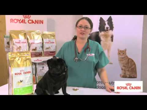 Pug Breed health nutrition - Royal Canin | MedicAnimal UK