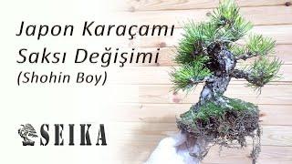 Japon Karaçamı (Shohin Boy) Bonsai Saksı Değişimi
