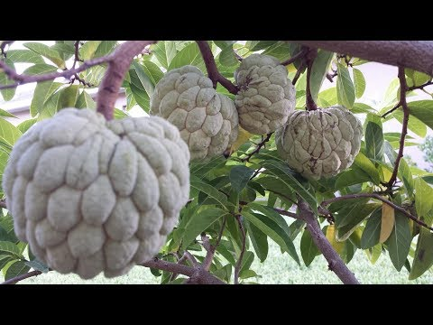 How to polinate sugar apple by hand for best fruits production ( FL# 23 ).