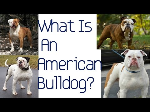 Introducing The American Bulldogge!!