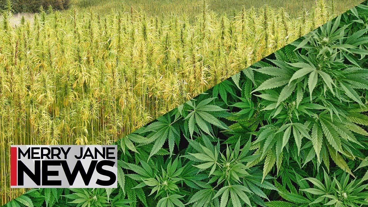 What Is The Difference Between Hemp and Marijuana? - Cannabis CBD ...