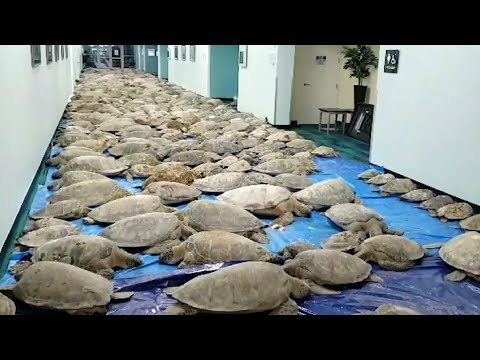 Race to save cold-stunned sea turtles from Texas coastlines