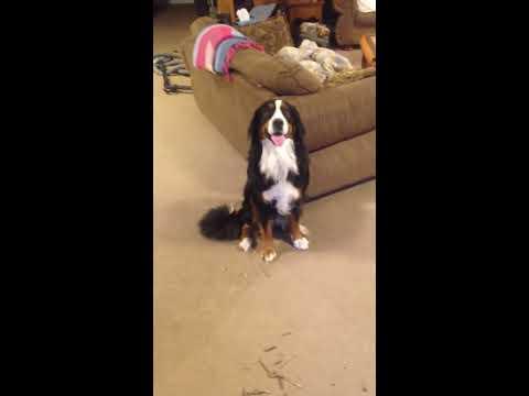 Guilty Bernese Mountain Dog