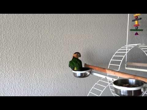 Caique Parrot is Taking A Bath