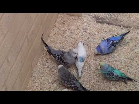 all about baby budgies how to take care