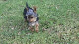 Yorkshire Terrier Scamp At A & B Dogs Boarding & Training Kennels.