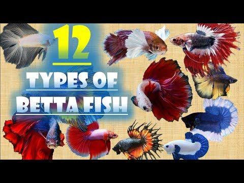 12 Types Of Betta Fish