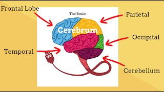 Parts of the Brain-Human Brain Structure and Function