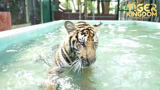 Tiger Playing in the Pool!