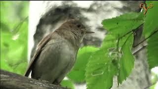 Gambar cover Соловей крупным планом / Thrush Nightingale close-up