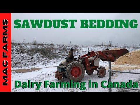 Packing Sawdust Bedding Into Dairy Barn
