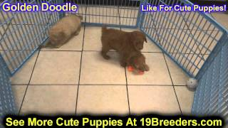 Golden Doodle, Puppies , For, Sale, in Staten Island, New York, NY, Brooklyn, County, Borough