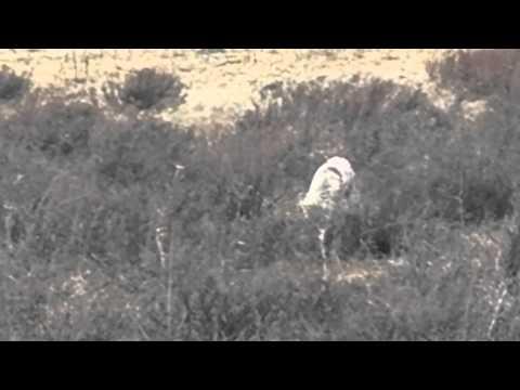 coyote pounces on prey Yellowstone NP 29/4/12