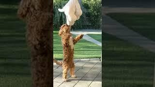 Cockapoo Spoodle smart dog