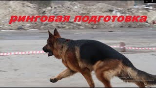 Ринговая подготовка собаки тренинг реальное видео