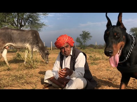 The Doberman of Royal Soldier Movie.  Morning with Dog and cows in Jungle