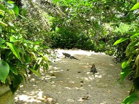 Blue Iguanas at QE II Botanic Park, Grand Cayman