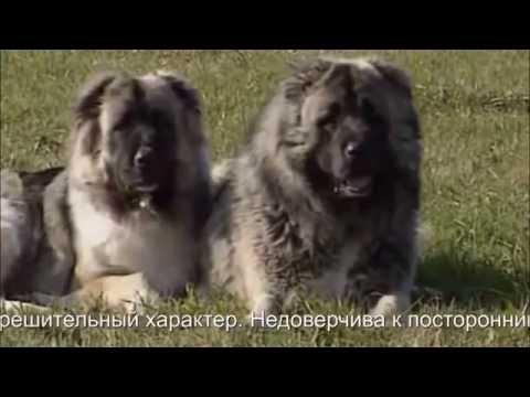 Лучшие бойцовые собаки - Кавказская овчарка